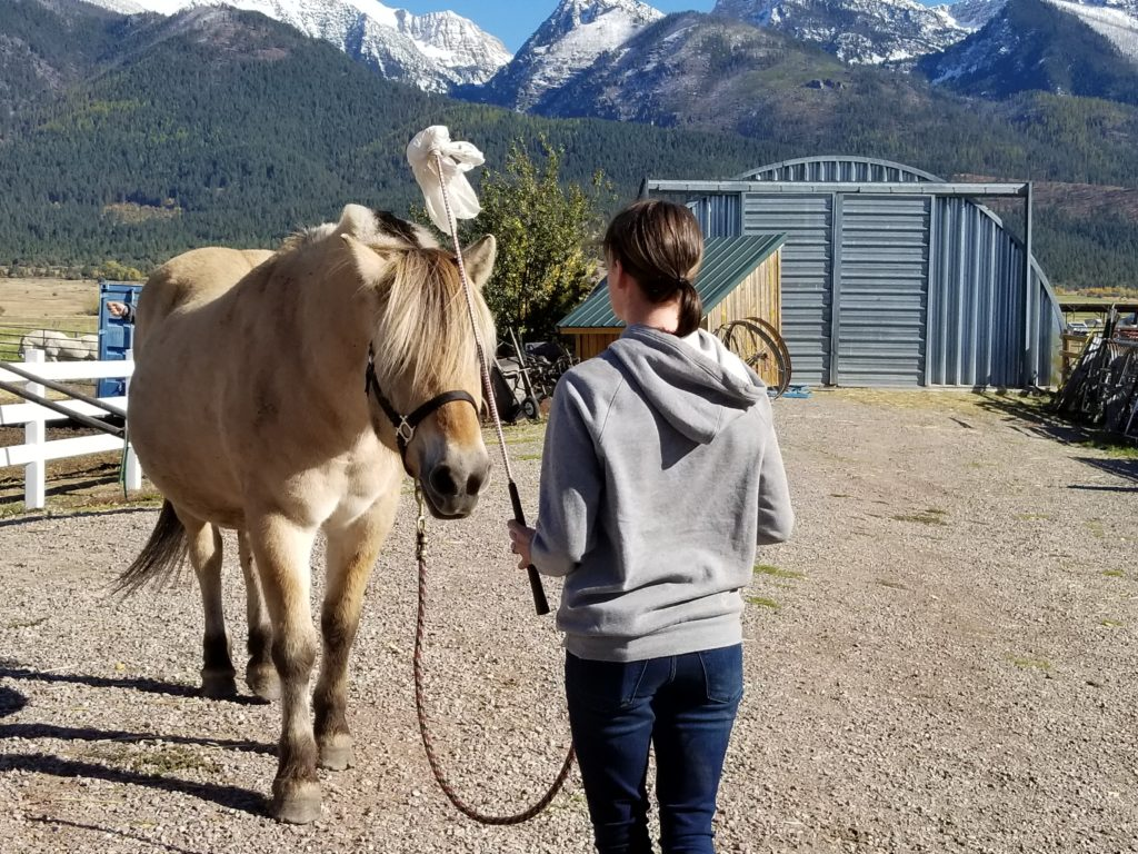 Woman aksing a Norwegian Fjord horse to stand (and stay).
