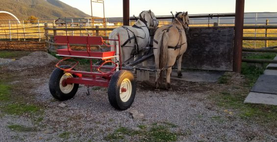 team of Norwegian Fjord Horses standing at hitch rail, attached to forecart