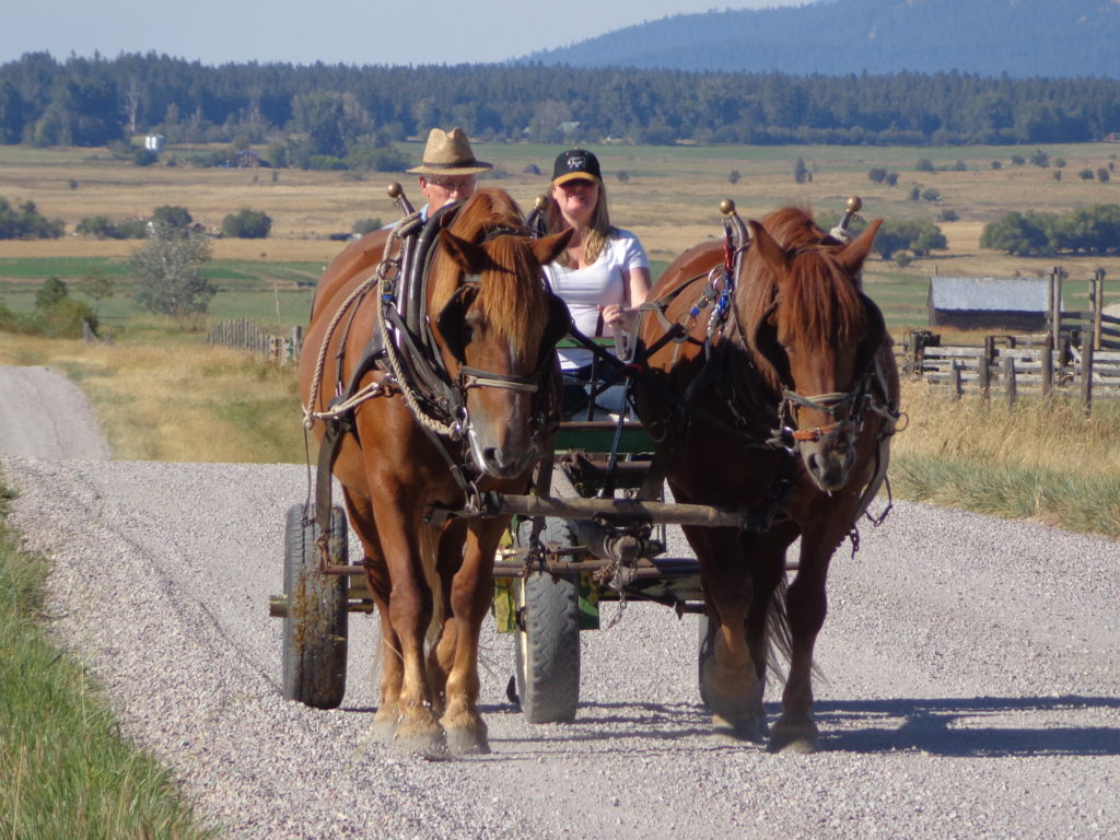 Woman driving a team of horses hitched to a forecart on a gravel road