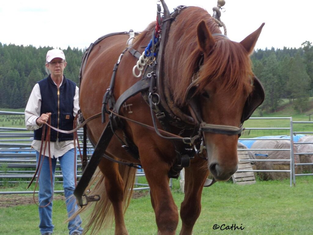 A woman ground driving a Suffolk Punch workhorse