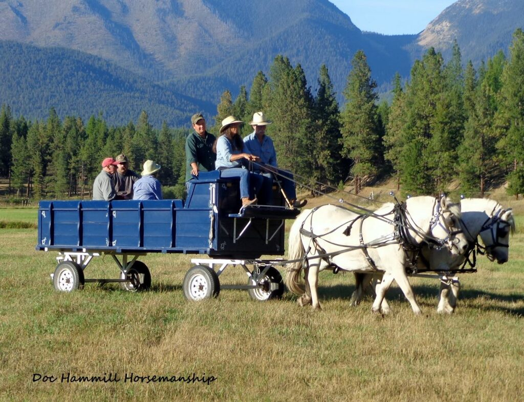 Man coaching a woman driving a team of white Norwegian Fjord horses hitched to a passenger wagon