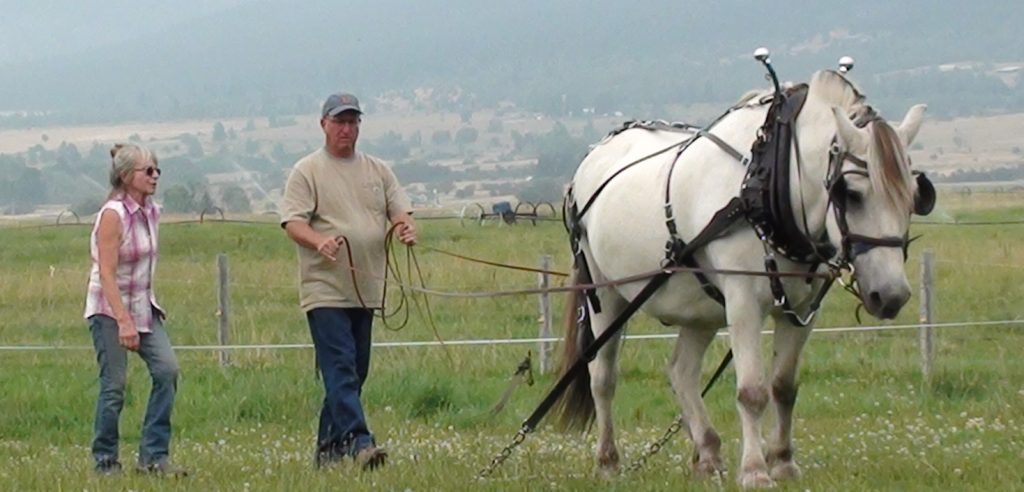 Woman coaching man learning to ground drive a Norwegian Fjord Horse