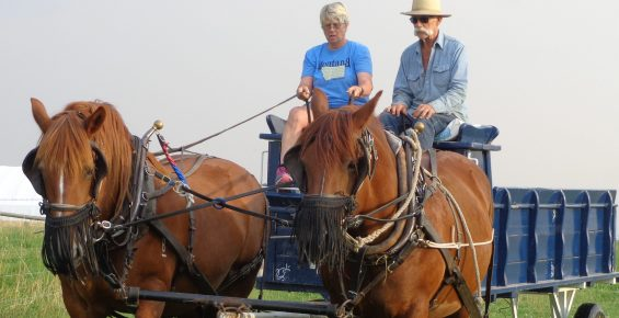 Woman being coached by a man is driving a team of Suffolk Horses hitched to a blue passenger wagon