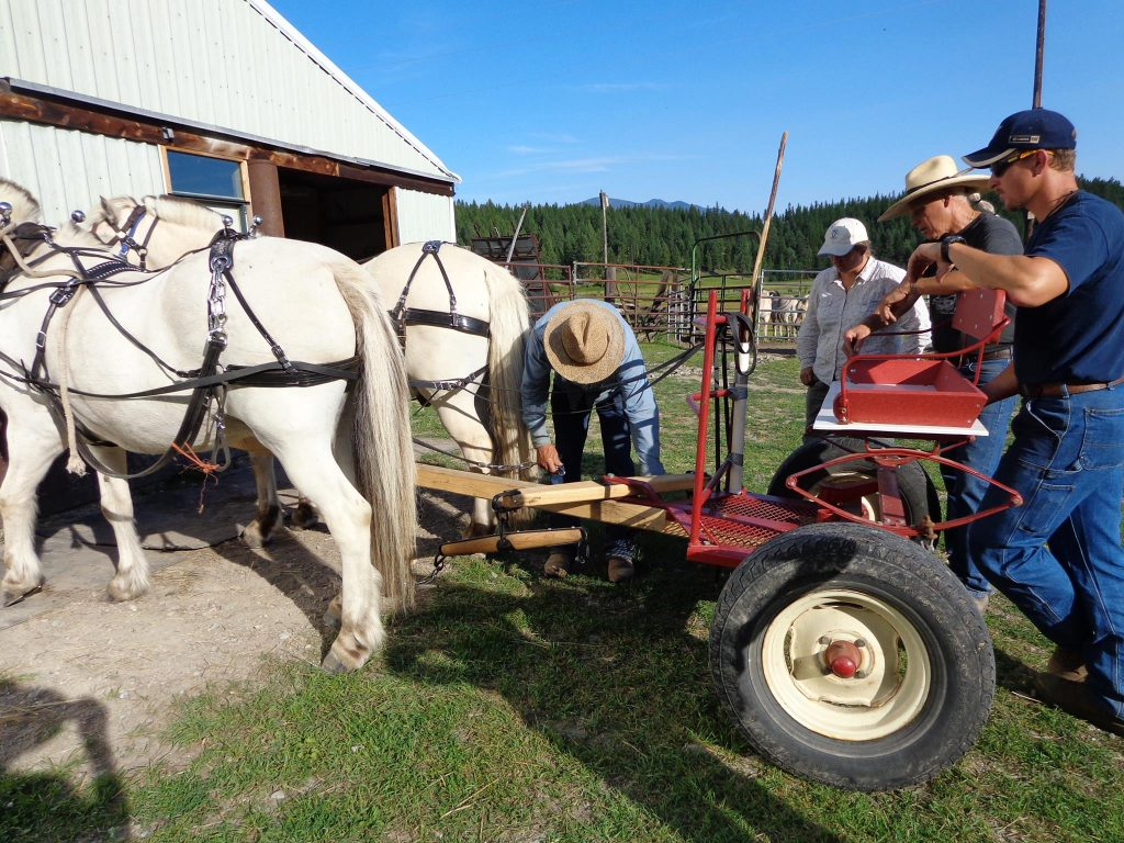 Man demostrating proper sequense of Hitching horses to a piece of farm equipmenta forecart