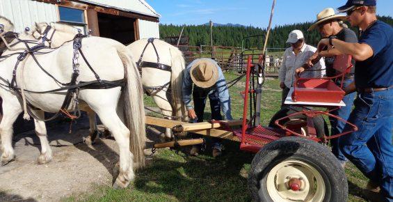 Man demostrating proper sequense of Hitching horses to a piece of farm equipmenta forecart